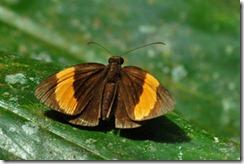 Ancistroides armatus armatus-MYMaxwell_20091124_D2863