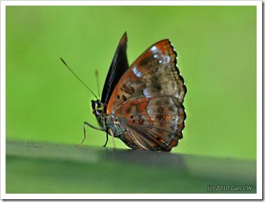 Rohana parisatis siamensis-MYGuaTempurong_20100629_D8446