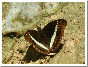 Bassarona recta monilis-MYGuaTempurong_20100701_D8926-340