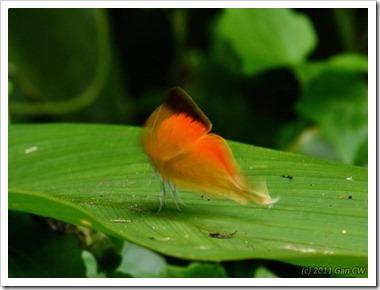 Loxura cassiopeia cassiopeia-MYFHRaub_20110430_D0523-640
