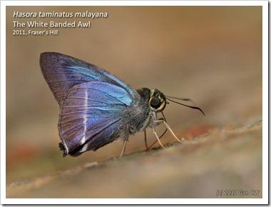 Hasora taminatus malayana-MYFHRaub_20110501_D0630-1024