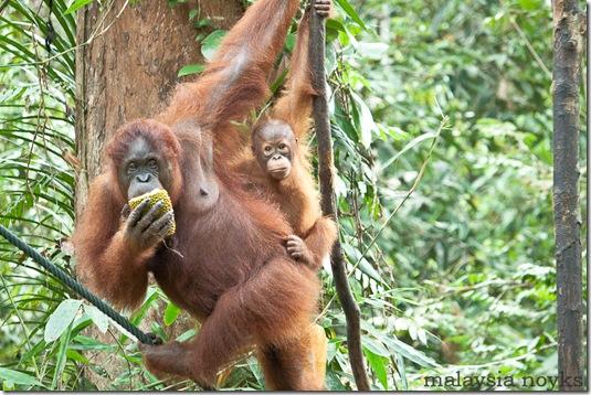 Semengoh Orangutan Rehabilitation Center 38