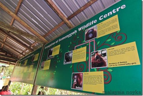 Semengoh Orangutan Rehabilitation Center 17