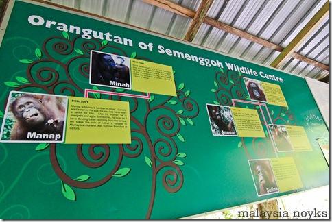 Semengoh Orangutan Rehabilitation Center 15