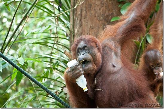 Semengoh Orangutan Rehabilitation Center 45