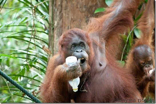 Semengoh Orangutan Rehabilitation Center 46