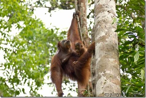Semengoh Orangutan Rehabilitation Center 4
