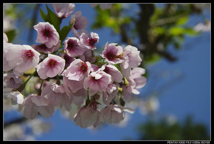 阿里山櫻花