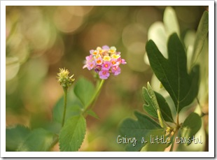 lantana-shady