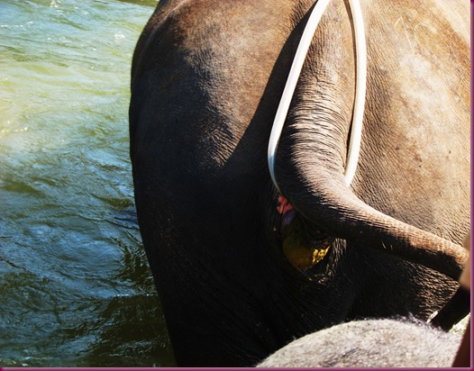 mae taeng elephant park elephant poo
