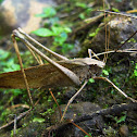 Large Dry Leaf Katydid