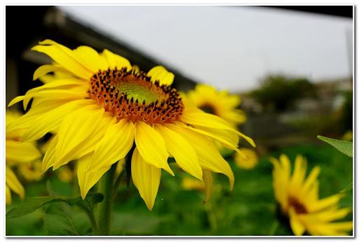 面陽--陽光的花