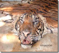 Tiger Poaching has lead to extinction of Tigers