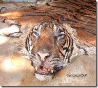 tiger_skin