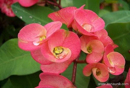 Persistently - Euphorbia