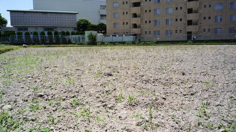 福岡, fukuoka, semana, week, 一週間, Gundam, ガンダム, 焼き鳥, yakitori, Engrish, campo de arroz, 田んぼ, rice field