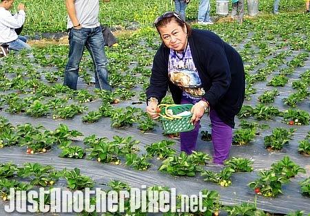 My nanay picking strawberries in Baguio - JustAnotherPixel.net