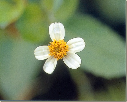 FSG Leucantha