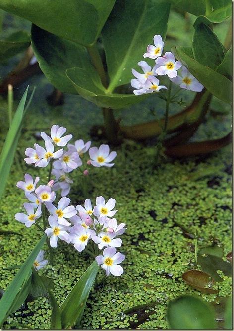 Florais de Bach Water Violet