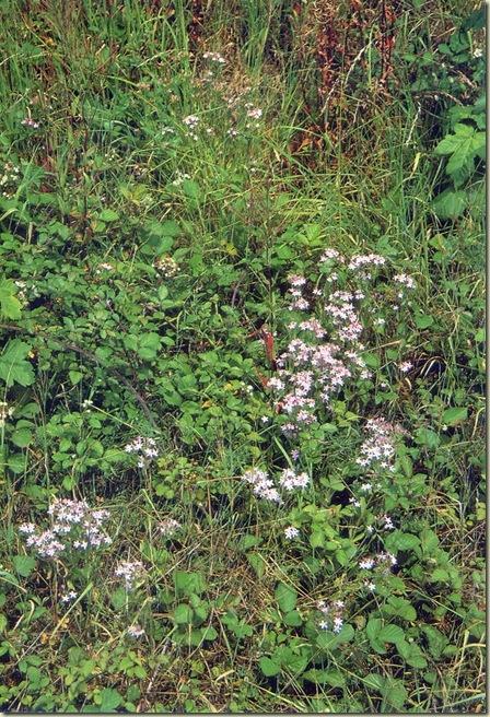 Florais de Bach Centaury