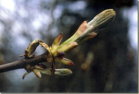 Florais de Bach Chestnut Bud