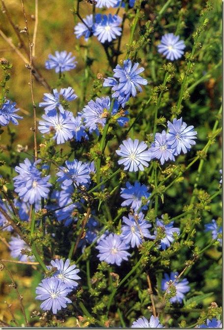 Florais de Bach Chicory