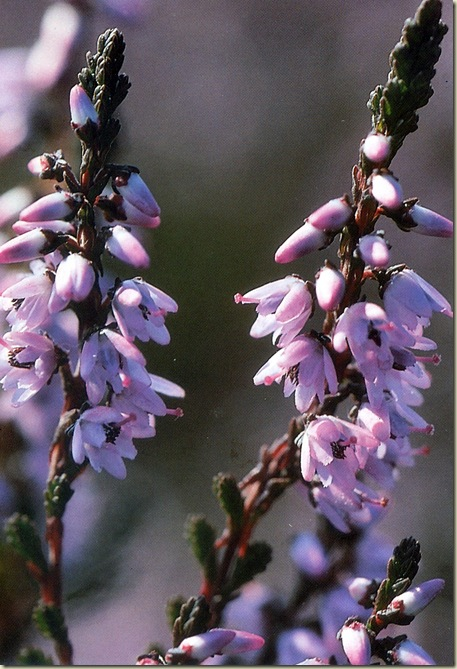 Florais de Bach Heather