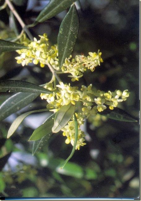 Florais de Bach Olive