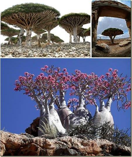 Paisagens 03 Arvores da Ilha Socotra