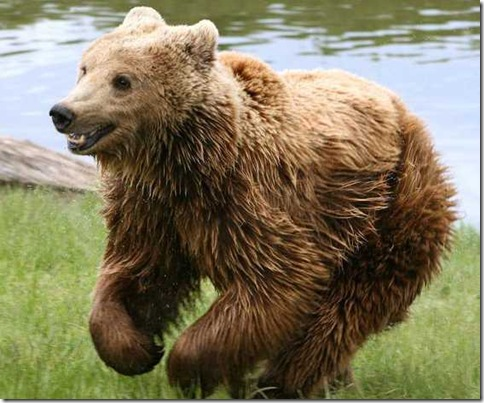 Urso Pardo