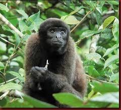 ca 61 Macaco
