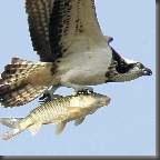 Mundo animal aguia e peixe 140x140