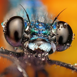 Eyes by Ondrej Pakan - Animals Insects & Spiders ( macro, damselfly, dew, bug, dew drops, dragonfly, insect,  )