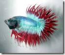 ornamental_fish