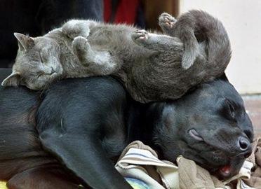 anjing dan kucingi