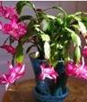 kaktus_natal_tanaman_sehat_aman_dalam_rumah
