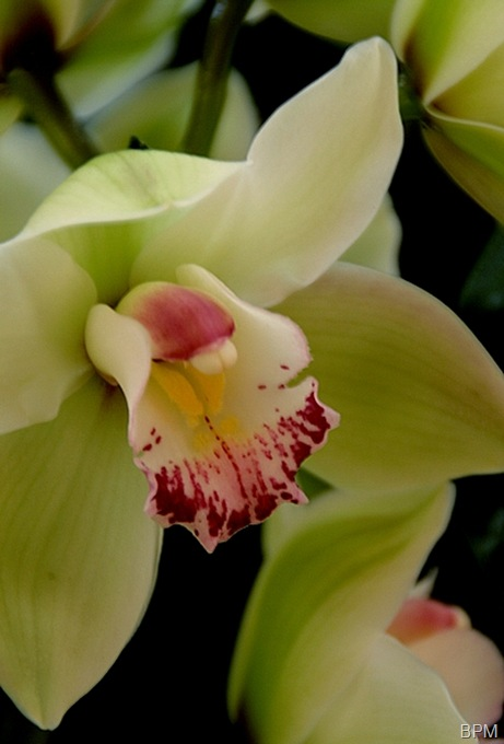 orchid26A