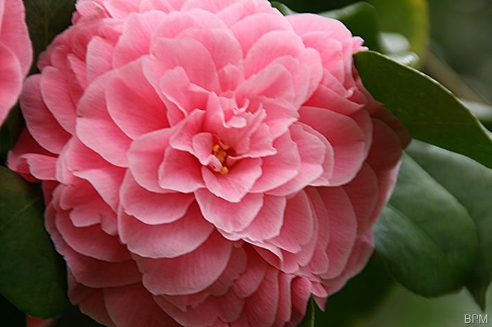 camelliaA