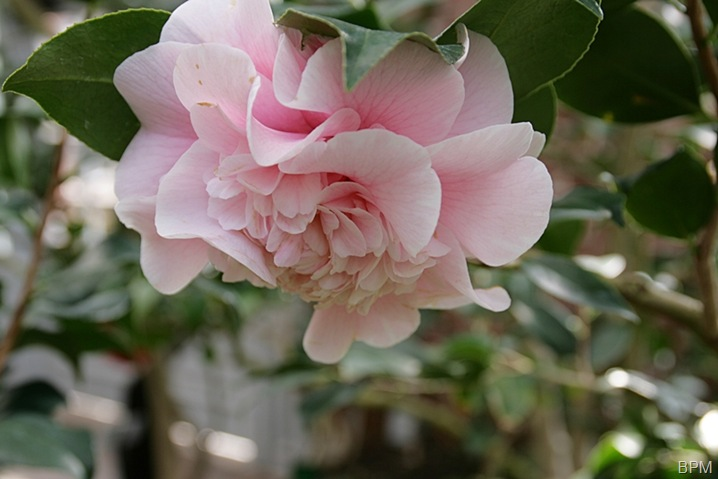camellia3