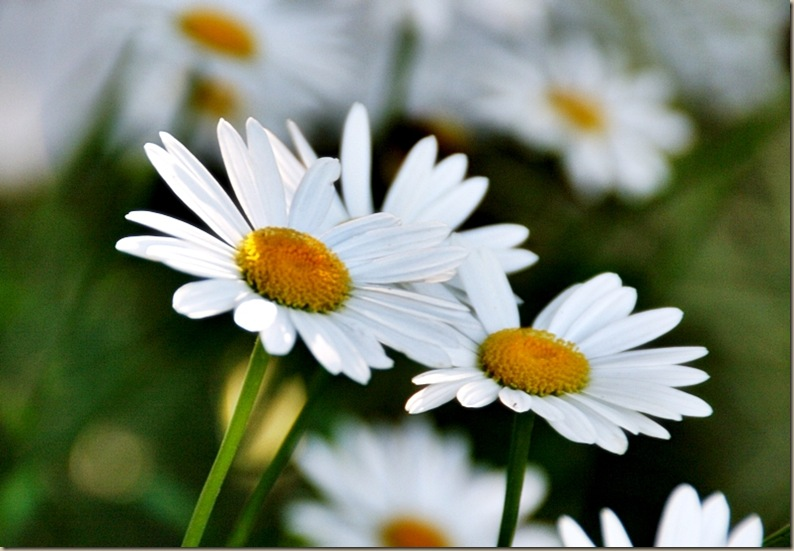 daisy8a1