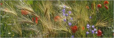wildflowers among wheat