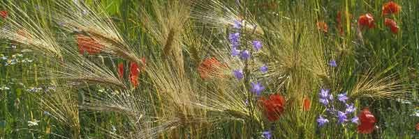 [wildflowers among wheat[2].jpg]