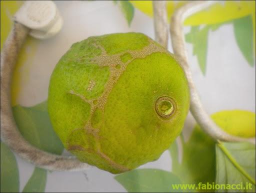 Malattie delle foglie del limone beautiful questuanno i for Malattie del limone