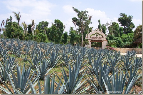 Mexico Agave Grouping