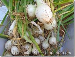 Freshly dug onions - yum!