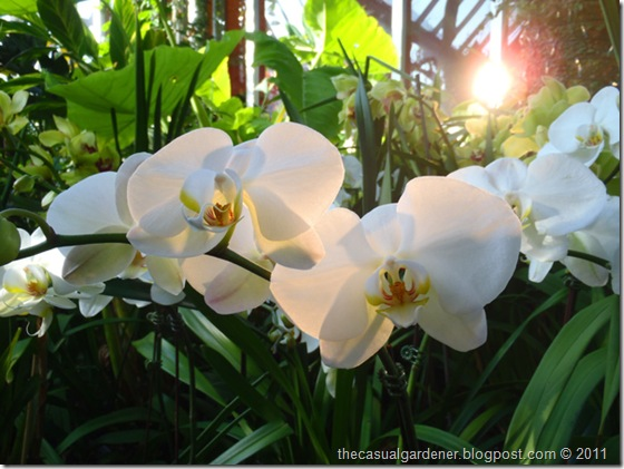 White orchids at Chicago Botanic Garden display greenhouse