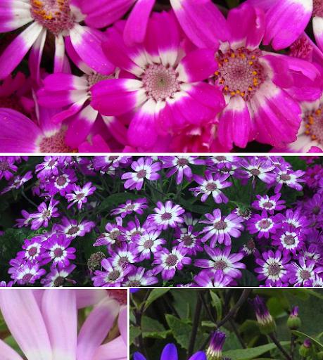 La Cineraria híbrida, Cineraria con flor