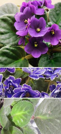 Violeta africana, Saintpaulia