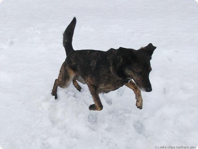 bruno pounces on some snow.