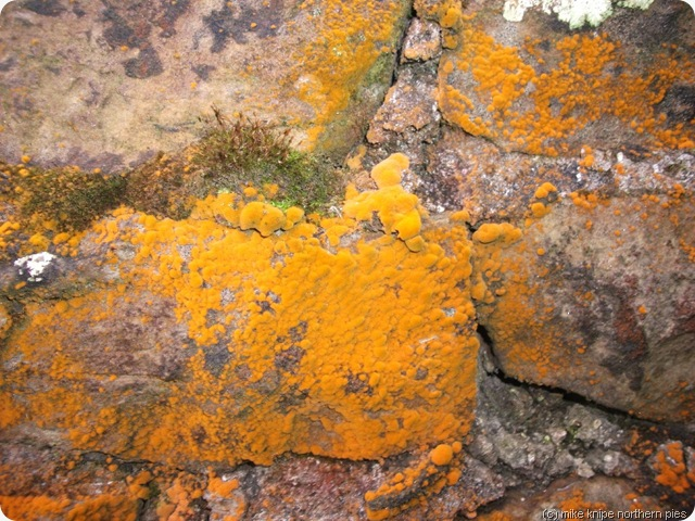 orange coloured lichen